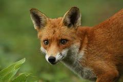 Fox & x28; Vulpes& x29 лисицы; стоковые фото