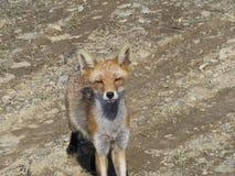 Fox (vulpes de Vulpes) a vu l'appareil-photo et est venu pour être photographié Photographie stock