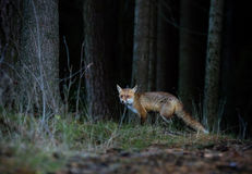 Fox (Vulpes vulpes) in europe forest Royalty Free Stock Photos