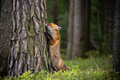 Fox (Vulpes vulpes) in europe forest Royalty Free Stock Photo