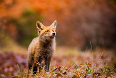 Fox (Vulpes vulpes) in europe forest Stock Photos