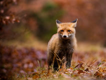 Fox (Vulpes vulpes) in europe forest Stock Photo