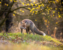 Fox (Vulpes vulpes) in europe forest Stock Photography
