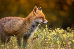 Fox (Vulpes vulpes) in europe forest. Fox (Vulpes vulpes) hunting in europe forest Stock Photo