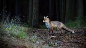 Fox (Vulpes vulpes) in europe forest Stock Images