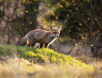 Fox (Vulpes vulpes) in europe forest Royalty Free Stock Image