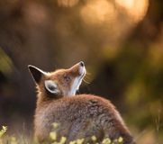 Fox (Vulpes vulpes) in europe forest Royalty Free Stock Images