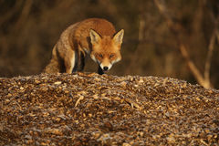 Fox (Vulpes vulpes). A hunting Fox (Vulpes vulpes royalty free stock images