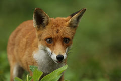 Fox Vulpes vulpes). A hunting Fox (Vulpes vulpes royalty free stock photography