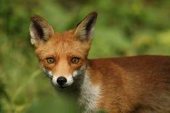 Fox (Vulpes vulpes). A hunting Fox (Vulpes vulpes stock photography