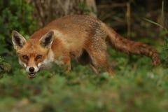 Fox (Vulpes vulpes). A hunting Fox (Vulpes vulpes stock image