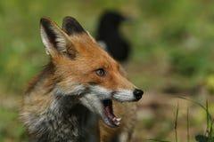 Fox (Vulpes vulpes). A hunting Fox (Vulpes vulpes royalty free stock photos