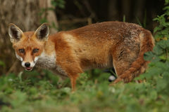 Fox (Vulpes vulpes). A hunting Fox (Vulpes vulpes royalty free stock photography