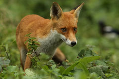 Fox (Vulpes vulpes). A hunting Fox (Vulpes vulpes stock images