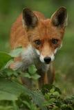 Fox (Vulpes vulpes). A hunting Fox (Vulpes vulpes royalty free stock image