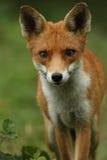 Fox (Vulpes vulpes). A hunting Fox (Vulpes vulpes royalty free stock photo