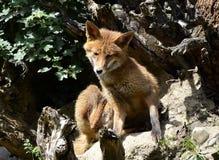 Fox - Vulpes Vulpes, Lange Erle, Basel Stock Images
