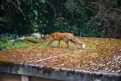 Fox Vulpes Vulpes walks along a roof in a London suburb Royalty Free Stock Photos