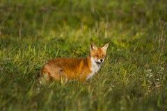 Fox w łące Fotografia Royalty Free