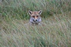 Fox w Amsterdamse Waterduinen Zdjęcie Stock