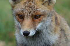Fox w Amsterdamse Waterduinen Obraz Royalty Free