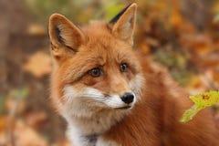 Fox w jesień lesie Fotografia Royalty Free