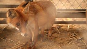 Fox w klatce zbiory wideo