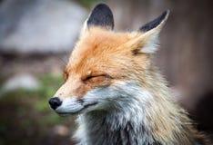 Fox w lesie przy Wysokim Tatras, Sistani Fotografia Stock