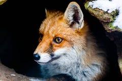 Fox w lis ziemi Obrazy Royalty Free