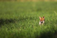 Fox w polanie Obrazy Royalty Free