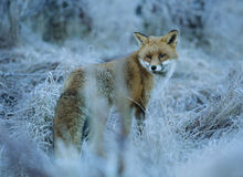 Fox w zamarzniętej trawie Fotografia Royalty Free