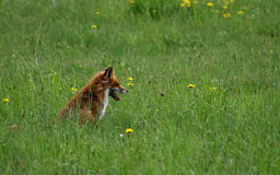 Fox. This fox is waiting for its victim royalty free stock image