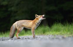 Fox waiting Royalty Free Stock Photo