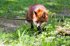 Fox for a walk in the zoo. Royalty Free Stock Photos