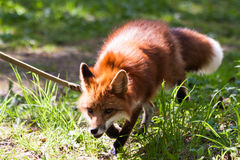 Fox for a walk in the zoo. Stock Photos