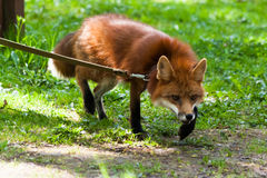 Fox for a walk in the zoo. Royalty Free Stock Photo