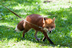 Fox for a walk in the zoo. Stock Photography