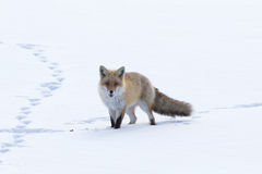 Fox Walking Across the Snow Stock Image
