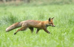 Fox walking Stock Photography