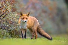 Fox walking in dune vegetation stock photography