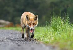 Fox walking Royalty Free Stock Image