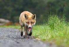Fox walking Royalty Free Stock Image
