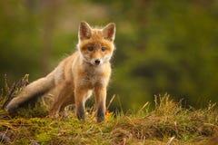 Fox. The fox was a very nice meeting stock photo