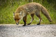 Fox, welche nach Nahrung sucht stockfotografie