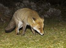 Fox, welche nach Nahrung sucht Lizenzfreie Stockfotos