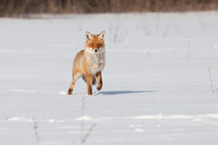 Fox on white snow. The fox on white snow searches for meal royalty free stock photography