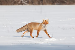 Fox on white snow Stock Photos