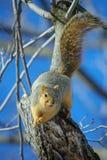 Fox wiewiórka na gałąź Obrazy Royalty Free