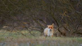 Fox in the wild - autumn. Fox in a natural environment, in an autumn mid-forest meadow during tracking animals royalty free stock images