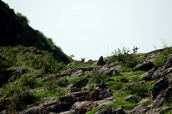 Fox. Wild fox among the beautiful mountain heath stock images
